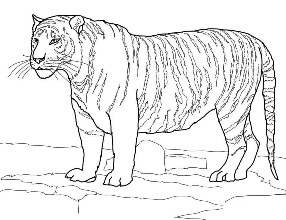 амурский тигр фото для раскраски вами постараемся разобраться